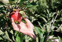 picking red ripe apple from tree