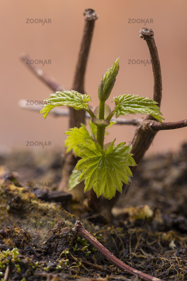 small hop plant in spring