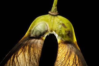 Berg-Ahorn-Frucht