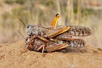 A pair of brown locusts (Locustana pardalina) mating
