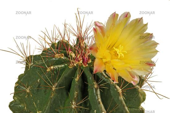 Yellow flower of an Echinopsis cactus