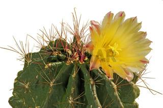 Gelbe Blüte eines Echinopsis-Hybriden / Yellow flower of Echinopsis hybrid