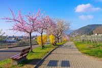 Landschaft rund um Gimmeldingen während der Mandelblüte im Frühling - landscape around Gimmeldingen during the almond blossom in spring