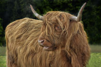 scottish higland cattle