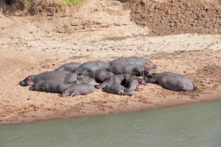 Hippopotamus, Hexaprotodon liberiensis, Masai mara National Reserve, Kenya, Africa