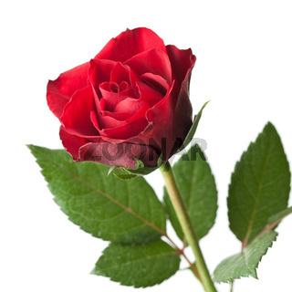 Rose isoliert