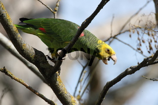 Yellow-headed Amazon (Amazona oratrix), Rosenstein Park, Stuttgart, Baden-Wuerttemberg,Germany