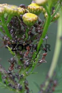Ameisen melken Blattläuse