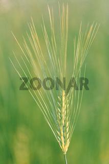 Ear of barley lit by sunlight
