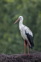 White Stork visits the nest used last year, this year the birds have moved to another aerie