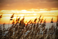 Beach Grass At Sunrise Or Sunset, Beautiful Romantic Nature Background