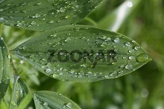 Lotuseffekt auf Blatt von Salomonssiegel, Polygonatum oderatum
