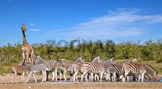 Zebras und Giraffe am Wasserloch, Steppenzebras, Etosha, Namibia | Zebras and a giraffe at the waterhole, Etosha, Namibia