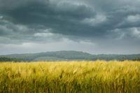 Wheat field with stormy sky