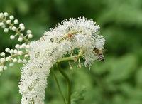 Traubensilberkerze, Cimicifuga racemosa