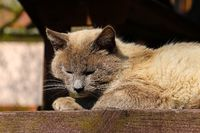 A domestic gray cat lies on a bench basking in the sun.