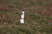 stoat (Mustela erminea),short-tailed weasel Germany