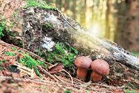 Two Mushroom in green moss.