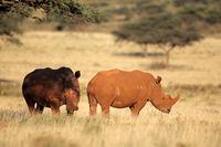 A pair of white rhinoceros (Ceratotherium simum) in grassland