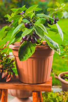 Small eggplants cultivated for container or pot for balcony