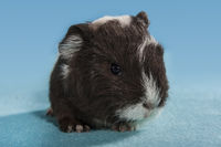 guinea pig baby brown white