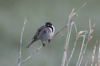 Rohrammer, Emberiza schoeniclus, common reed bunting
