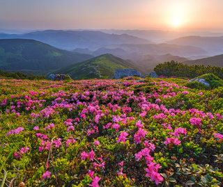 Rhododendron flowers on early morning summer misty mountain top