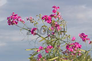 Blüten und Früchte der Breitblättrigen Platterbse