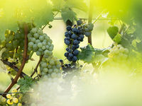 White and blue grapes (Vitis vinifera) in a wineyard