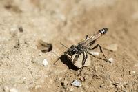 Female of Prionyx kirbii wasp, closing its nest burrow with a stone, Valais, Switzerland