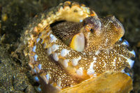Coconut Octopus, Lembeh, North Sulawesi, Indonesia
