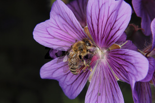 Westliche Honigbiene / Western honey bee
