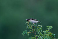 Whinchat male