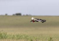 Southern Ground Hornbill, Maasai Mara National Reserve, Africa