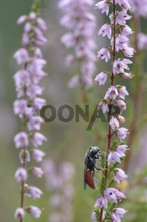 Auen-Buckelbiene (Sphecodes albilabris)