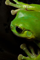 Tree frog splat