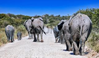 Elefantenherde auf der Straße, Etosha-Nationalpark, Namibia, (Loxodonta africana) | herd of elephants on the street, Etosha National Park, Namibia, (Loxodonta africana)