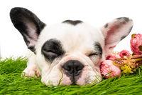 french bulldog dog sleeping  isolated on white background