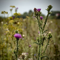 blooming thistle in a summer field