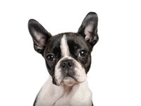 Boston terrier puppy isolated on white for copy space use - studio shot
