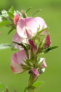 Hauhechel, dorniger Hauhechel, Heilpflanze, Ononis
