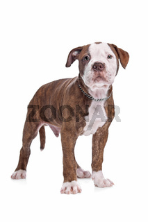 American Bulldog in front of a white background