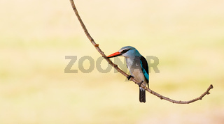Woodland Kingfisher bird perched on a branch