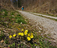 coltsfoot;