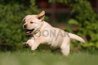 Labrador-Welpe läuft im Garten
