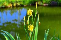 210610-233 Sumpfschwertlie, Yellow flag, Iris pseudacoris.jpg