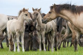 Duelmener Wildpferde, Herde mit Fohlen, wild herd of Duelmen Ponies