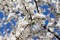 Sunlit blossom branches of fruit tree with small flowers and leaves and blue sky on sun day