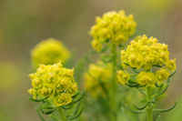 Cypress spruge (Euphorbia cyparissias)