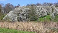 A large flowering sloe bush on a slope